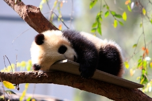 Baby Panda Bear Cub - San Diego Zoo video content marketing examples