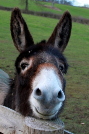 Alcester - smiling donkey - How to Get the Perfect Image for Your Blog in Under 4 Minutes!