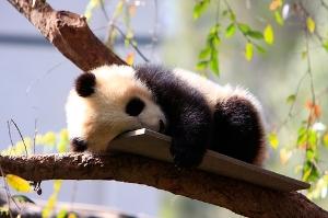 Baby Panda Bear Cub - San Diego Zoo video content marketing examples
